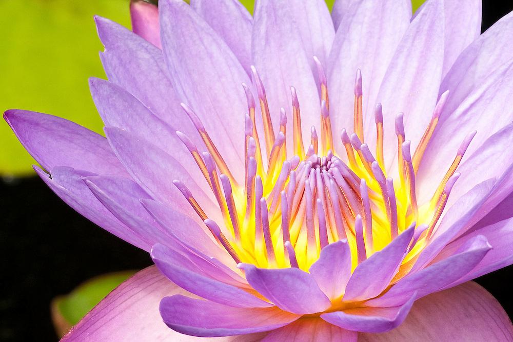 Waterlily Aglow