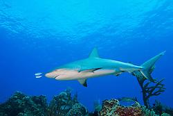 Caribbean Reef Shark, Carcharhinus perezi, led by a pair of juvenile Bar Jacks, Caranx ruber, West End, Grand Bahamas, Atlantic Ocean