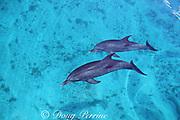 Atlantic spotted dolphins, Stenella frontalis, White Sand Ridge, Little Bahama Bank, Bahamas ( Western North Atlantic Ocean )