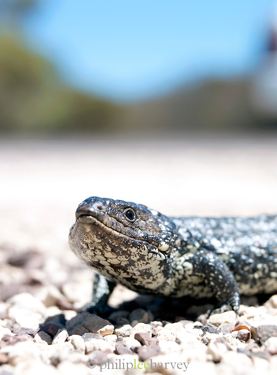 Shingleback Lizard, Eyre Peninsula, South Australia, Australia