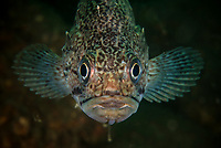 Korean rockfish, Sebastes schlegelii, (Chinese 許氏平鮋), Zhifu Island (Chinese: 芝罘島), Shandong Province, China, byt the Bohai Sea, that is the inner part of the Yellow Sea where both the Yellow River and Hai He flow into.<br /><br />Conservation: The Yellow Sea is one of the most threatened marine areas on earth. Land reclamation has destructed more than 60% of tidal wetlands in only 50 years. Rapid coastal development for agriculture, aquaculture and industrial.development are primary drivers of coastal destruction in the region. In addition pollution, harmful algal blooms, invasion of introduced species are having a negative effect. There are 25 intentionally introduced species and 9 unintentionally introduced species in the Yellow Sea marine ecosystem.