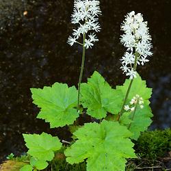Foamflowers, Tiarella cordifolia, grow next to Gulf Brook in Pepperell, MA.