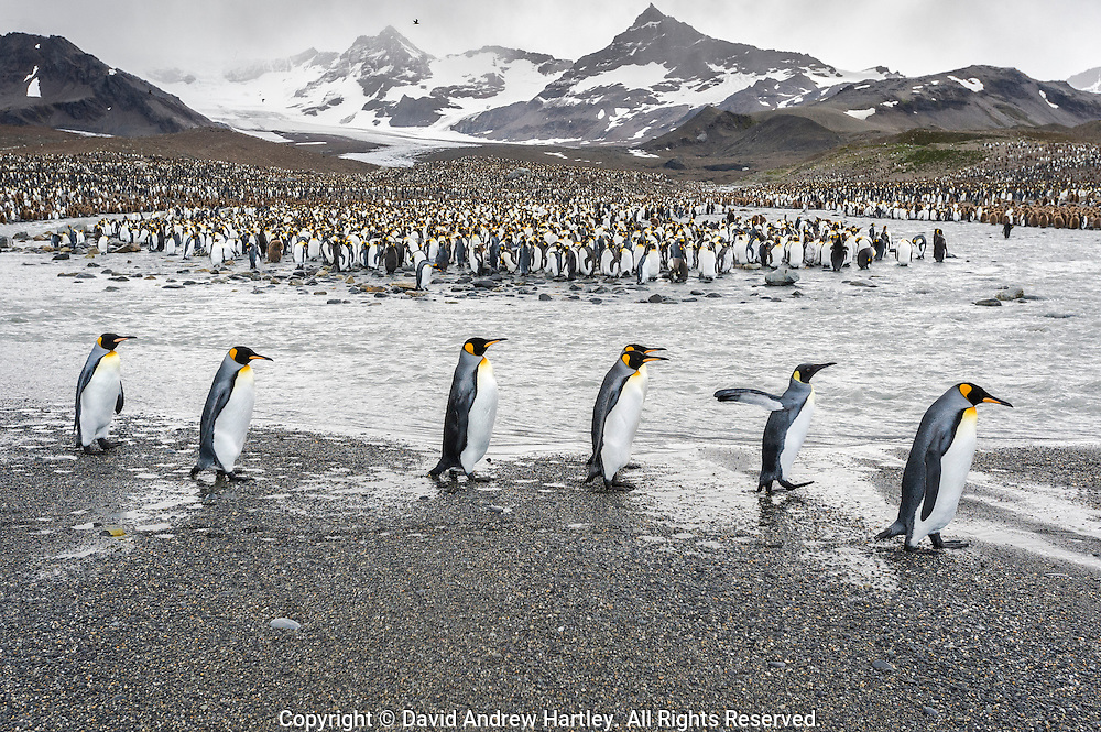 King Penguins (Aptenodytes patagonicus), St Andrews Bay, South Georgia Island, South Atlantic Ocean