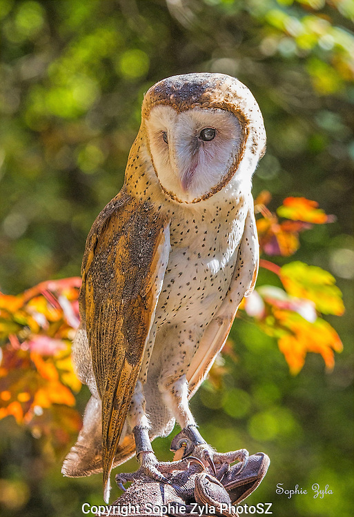 Banshee Barn Owl Fall Foliage at APCH