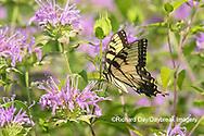 03023-03220 Eastern Tiger Swallowtail (Papilio glaucus) on Wild Bergamot (Monarda fistulosa) Marion Co. IL