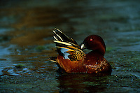 A male cinnamon teal (Anas cyanoptera) showing off his blue wing feathers.