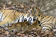 Bengal Tiger<br /> Panthera tigris <br /> Eight week old cubs suckling<br /> Bandhavgarh National Park, India