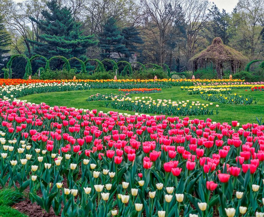 Tulip garden, with colorful curves, vine covered arches & gazebo, Elizabeth Park, Hartford, CT