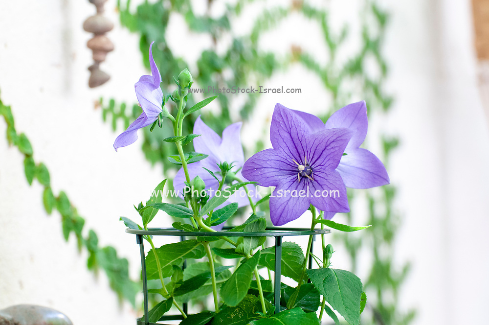 Balloon flowers (Platycodon grandiflorus). This flower is native to northeast Asia including China, East Siberia, Korea and Japan. The root is used to lower blood sugar and cholesterol levels in the liver and to stimulate the release of histamine. It is also used in the treatment of coughs, colds, bronchitis, pleurisy, pulmonary abscesses and throat infections. Photographed in May