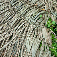 Vines grow through a thatched roof in San Juan de Yanayacu village in Peru's Amazon Jungle.