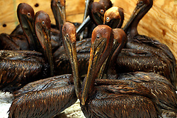 09 June 2010. Fort Jackson, Venice, Louisiana.<br /> What have we done? Juvenile pelicans coated in oil await cleaning at the International Bird Rescue Research Center (IBRRC)in Fort Jackson. The animals have been collected from marshes throughout Louisiana where BP's catastrophic oil spill washes ashore.<br /> Photo; Charlie Varley/varleypix.com