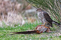 Cooper's Hawk (Accipiter cooperii) on male pheasant kill   Photo: Peter Llewellyn