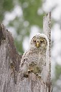 Ural owl owlet on snag