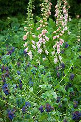 Digitalis 'Sutton's Apricot' with Cerinthe major 'Purpurascens'. Foxglove and Honeywort