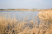 Reeds growing by lake in winter at Bawdsey, Suffolk, England