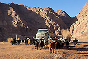 Sheep and goats gather around a water truck used to bring water from Rum Village to the remote Bedouin encampment in Wadi Rum, Jordan. The truck has in recent years taken the place of natural springs, many of which have gone dry.