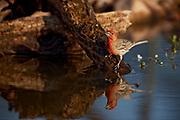 House Finch (Carpodacus mexicanus) Amado, Arizona<br /> animals<br /> wildlife<br /> birds