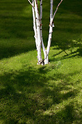 Silver Birch tree planted on some grass. The white bark contrasting with the fresh green grass.
