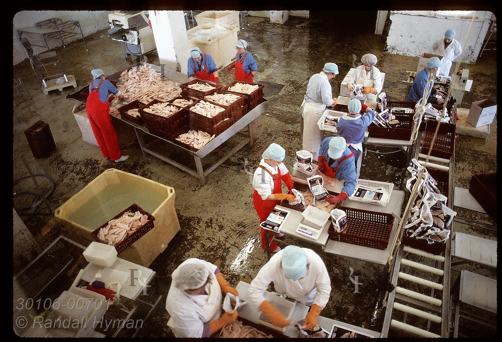 Overview of crew packing frozen ocean perch fillets (redfish) for export to Germany;Westman Is Iceland