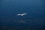 Great Egret in Bolsa Chica Ecological Reserve, Orange County, California, USA