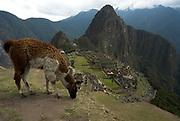 Machu Picchu Inca Ruins, with Llama,  Lama glama, Mount Huayna Picchu in background, Sacred Urubamba Valley, Andes, Peru, sacred, temple, andean, mountain.