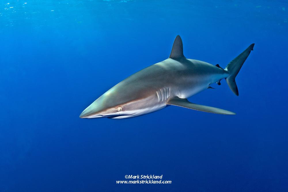 A Silky Shark, Carcharhinus falciformis, patrols just below the surface in deep water. Bahamas, Atlantic Ocean