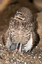 03 July 2006:   The burrowing owl is a small, long-legged owl found throughout open landscapes of North and South America. Burrowing owls can be found in grasslands, rangelands, agricultural areas, deserts, or any other open dry area with low vegetation