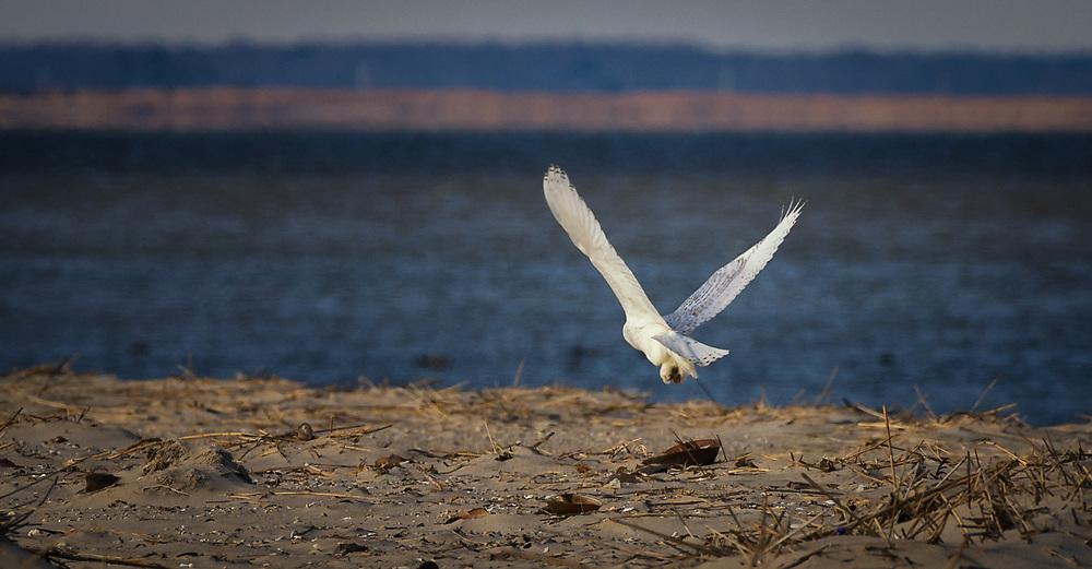 Snow Owl on Fowler Beach, Milford, Delaware.