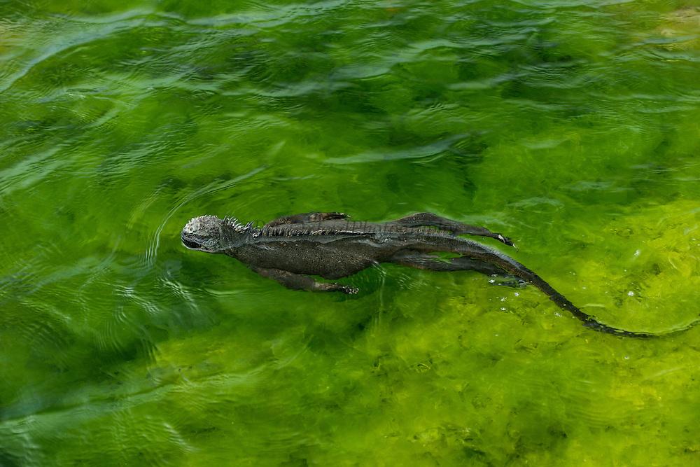 Marine Iguana (Amblyrhynchus cristatus) Swimming<br /> Espinosa Point<br /> Fernandina<br /> Galapagos<br /> Ecuador, South America<br /> ENDEMIC TO THE ISLANDS