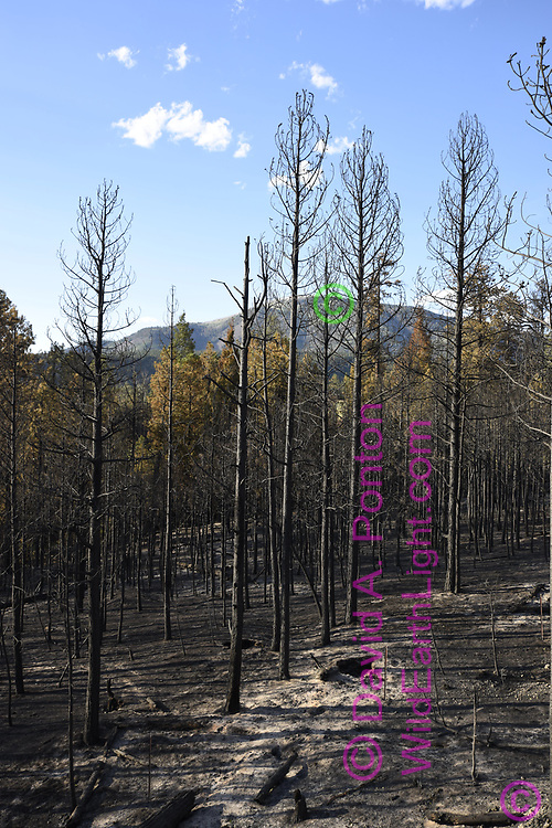 Burned and ash covered earth below burned remnants of ponderosa pine forest following the Cajete Fire, view towards Redondo Peak, north side of State Road 4, © 2017 David A. Ponton