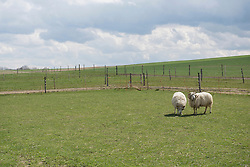 Sheep grazing in pasture, Bavaria, Germany