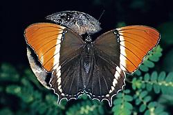 Brown Siproeta Butterfly