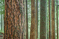 Old growth forest, Mount Baker Snoqualmie National Forest Washington USA