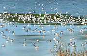 Flock of Semipalmated Sandpiper feeding on colorful water at Bombay Hook Nwr