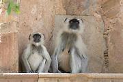 India, Rajasthan, Pushkar, Monkeys on the shore of the lake