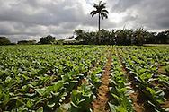 Tobacco growing on a farm, Pinar del Rio, Cuba
