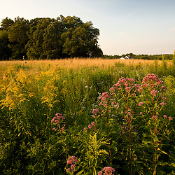 Joe-pye weed, Eutrochium purpureum, grows in a hay field in Bridgewater, Massachusetts.  Summer.