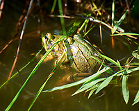 Kermit the Bullfrog. Image taken with a Leica SL2 camera and 90-280 mm lens.