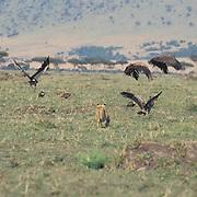 Lion, (Panthera leo) Older cub chasing vultures off kill. Masai Mara Game Reserve. Kenya. Africa.