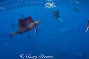 Atlantic sailfish, Istiophorus albicans (parts of at least 27 in photo), attacking bait ball of Spanish sardines (aka gilt sardine, pilchard, or round sardinella ), Sardinella aurita, off Yucatan Peninsula, Mexico ( Caribbean Sea )