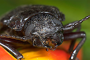Stag Beetle, Family: Lucanidae, Hacienda Baru, Costa Rica, tropical jungle, South America, close up of small mandibles and eyes,.Central America....