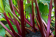 Dark red stems of a rhubarb plant growing in a vegetable garden