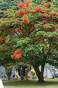 Poinciana or flame tree, Island of Beqa, Home of firewalkers,  Fiji, Melanesia, South Pacific