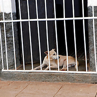 Central America, Cuba, Remedios. A dog sits in doorway and watches life on the street of Remedios.