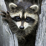 Raccoon (Procyon lotor) young in a hollow tree during the spring in Montana. Captive Animal