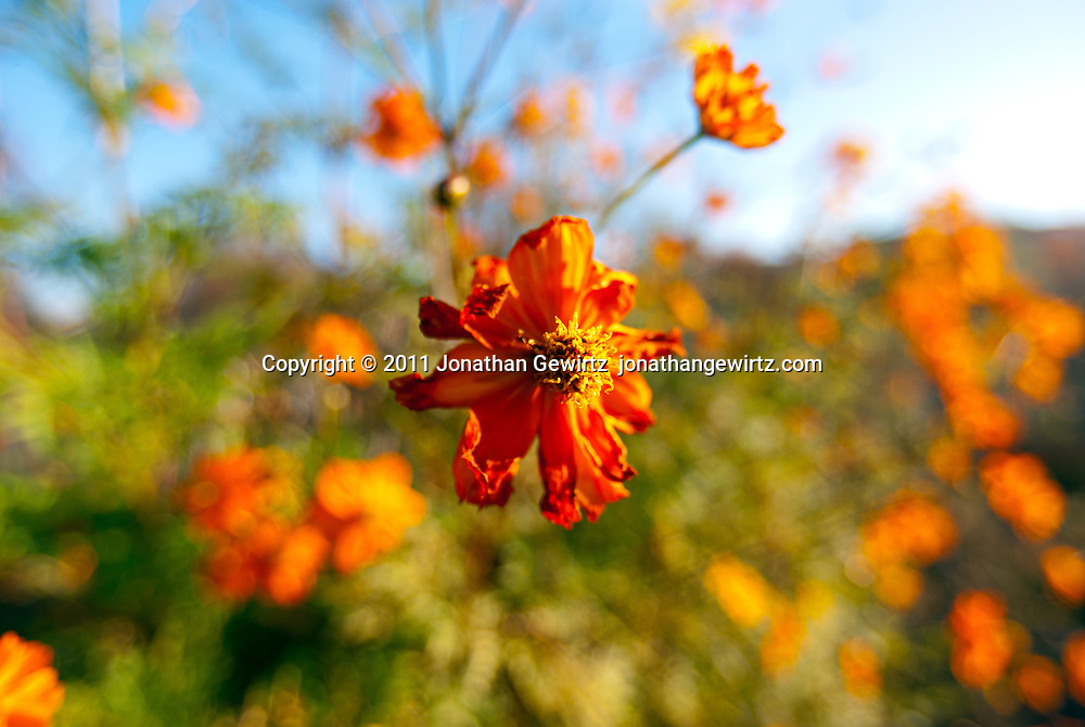 Wilting orange marigold flowers in an autumn garden. WATERMARKS WILL NOT APPEAR ON PRINTS OR LICENSED IMAGES.
