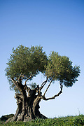 Ancient olive tree. Ithaca, Greece. The Greek island is situated in the Ionian Sea off the northeast coast of Kefalonia. Since antiquity, Ithaca has been identified as the home of the mythological hero Odysseus.