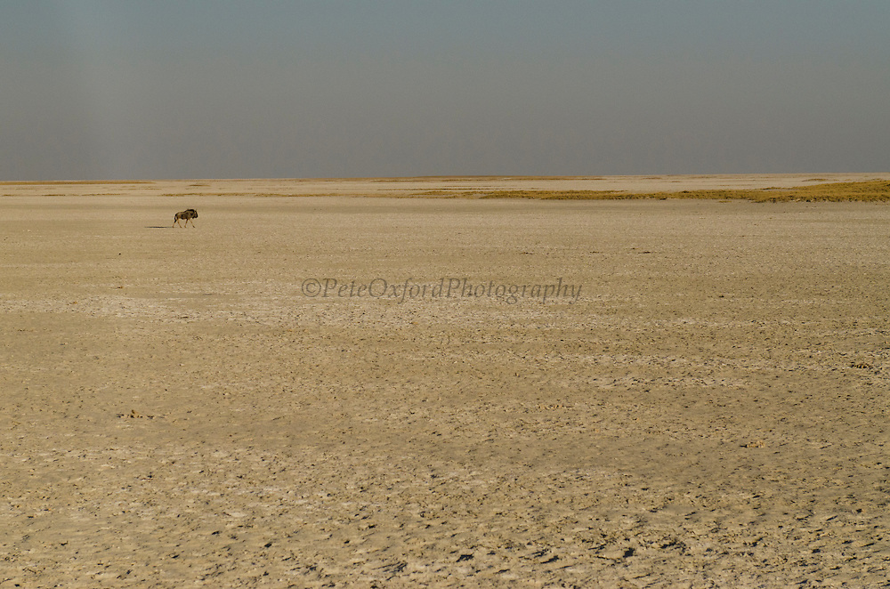 Blue Wildebeest (Connochaetes taurinus)<br /> Makgadikgadi Pans<br /> Northeast BOTSWANA<br /> HABITAT & RANGE: Open plains, bushveld and dry woodlands of Southern and East Africa.