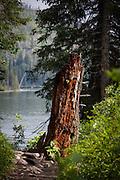 Rotting tree stump on Jenny Lake Trail, at Grand Teton National Park, Wyoming
