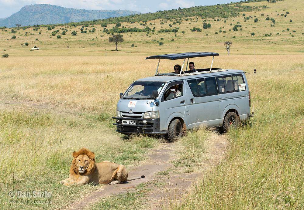 A male Lion, Panthera leo  melanochaita, blocks the path of a safari vehicle on a dirt road in Maasai Mara National Reserve, Kenya
